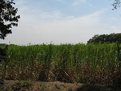 A vast sugar cane plantation